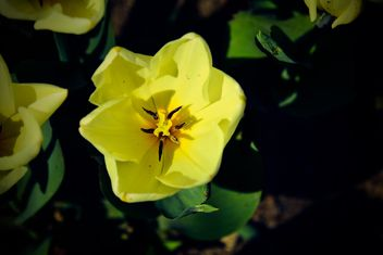 Close-up of yellow tulip - image gratuit #182849