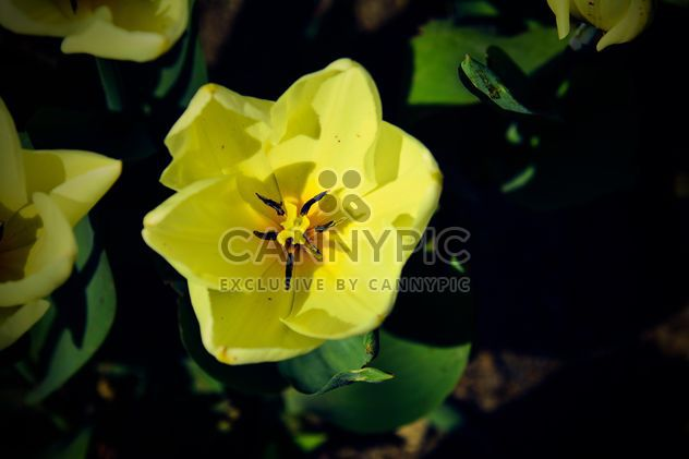 Close-up of yellow tulip - image #182849 gratis