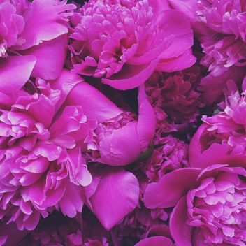 Pink peony flowers - Kostenloses image #183189