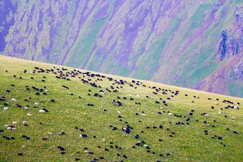 Flock of sheep on boundless grassland - image #183719 gratis
