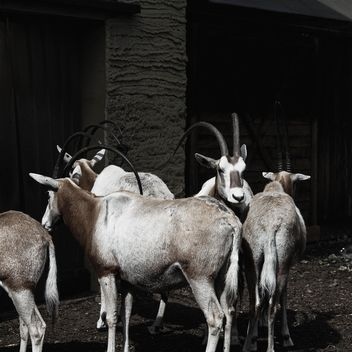 Antelopes in Zoo - Free image #184289