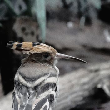 Hoopoe in Warsaw Zoo - image gratuit #184299