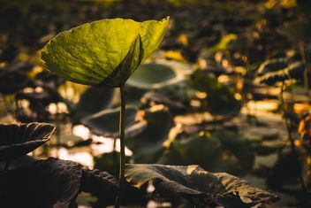 Lotus leaves in pond - image #186079 gratis