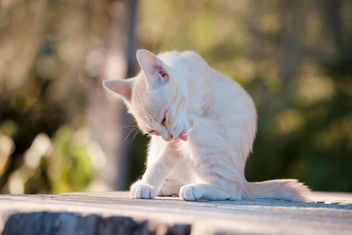 Kitten licking its paw - image #186119 gratis