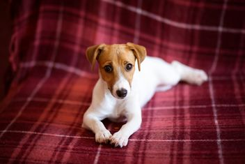 Jack Russell Terrier puppy - Free image #186149