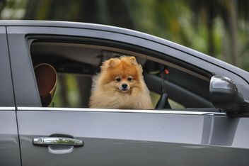 Dog poking out of a car - image #186439 gratis