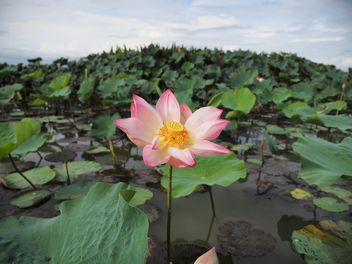 Pink lotus on the lake - image #186989 gratis
