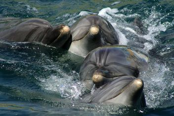 Dolphins in dolphinarium pool - бесплатный image #187769