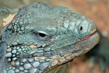 Grand Cayman Blue Iguana - Free image #187809