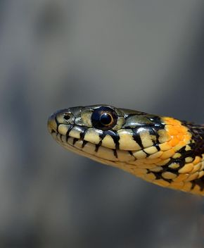 Portrait of grass snake - image #198219 gratis