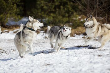 Husky dogs in winter - Free image #198629