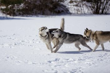 Husky playing in the snow - image #198659 gratis