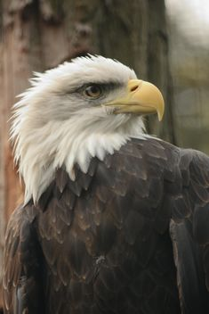 Close-up portrait of eagle - image #201459 gratis