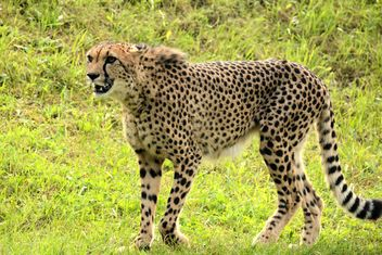 Cheetah on green grass - image #201469 gratis