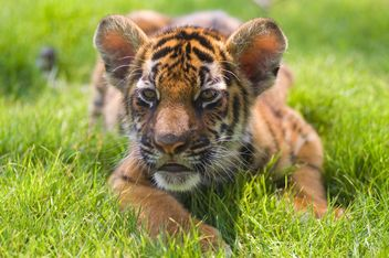 Baby Tiger Close Up - image gratuit #201599