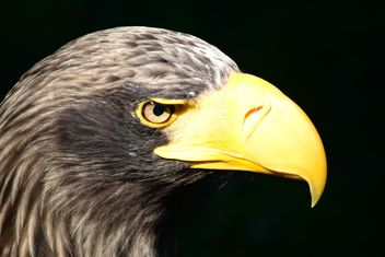 Close-Up Portrait Of Eagle - image gratuit #201609