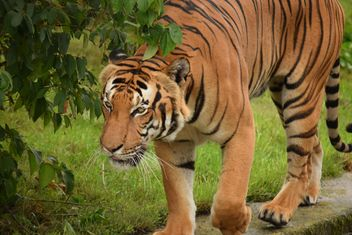 Tiger in the Zoo - Free image #201619