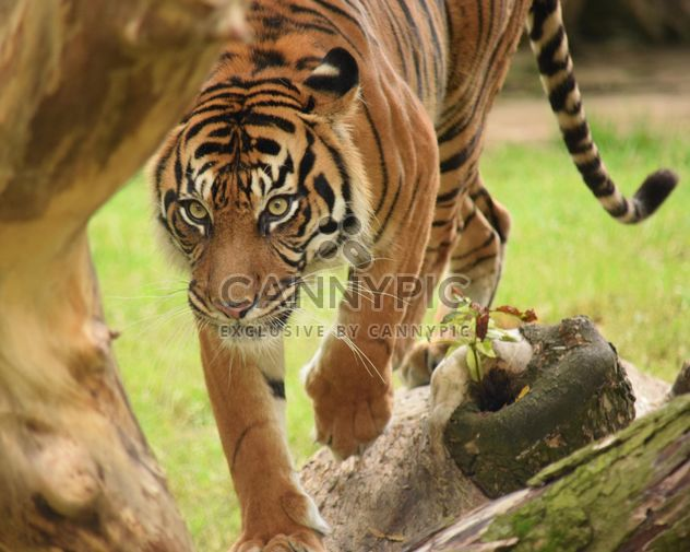 Tiger in the Zoo - Free image #201629