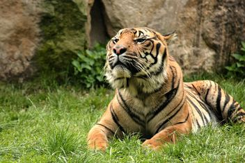Tiger in the Zoo - Free image #201679