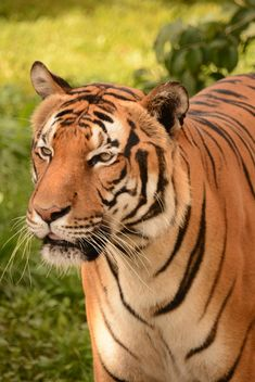 Tiger Close Up - image #201709 gratis