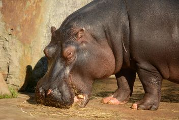Hippo In The Zoo - image #201719 gratis