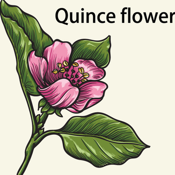 Quince Flower - Free vector #202709