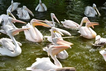 Pink Pelicans - Free image #229479