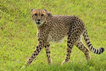 Cheetah on green grass - image #229529 gratis