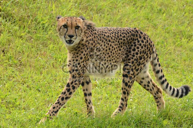 Cheetah on green grass - Free image #229529
