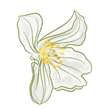 Free flower white jasmine isolated on a white vector - Free vector #236389
