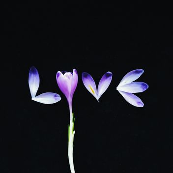 Word love of crocus petals on black background - image gratuit #272289