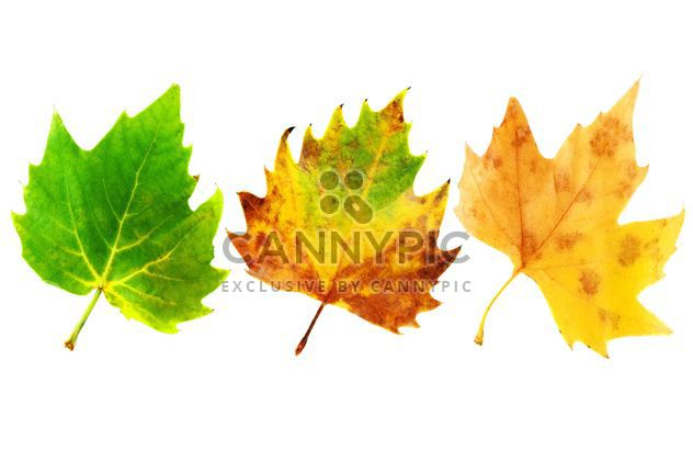 #goyellow leaves three green yellow - Free image #272589