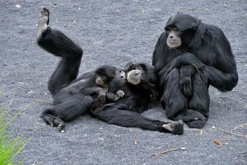 Family of gibbons - image gratuit #273009