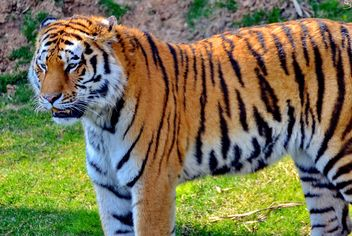 Tiger in Park - image #273639 gratis