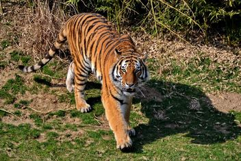 Tiger in Park - image #273649 gratis