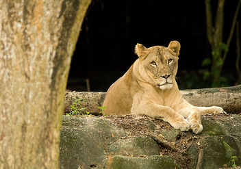 Hello, Human... (SINGAPORE ZOO/LION/ANIMALS/GREETING) VIII - Free image #275659