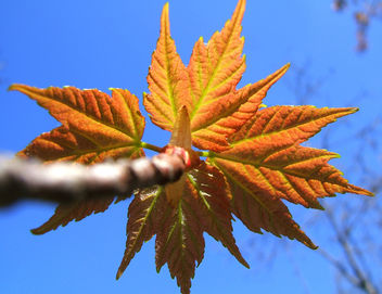 Maple leaves - Free image #276319