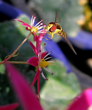 Hoverfly on a pink flower 1 - бесплатный image #276619