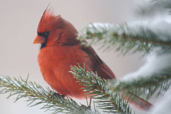 Male Cardinal in Snowy Evergreen - Kostenloses image #276879
