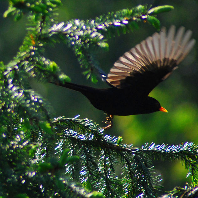 Fleeing Blackbird - image gratuit #277069