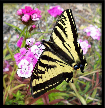 Butterfly My First - image #277189 gratis
