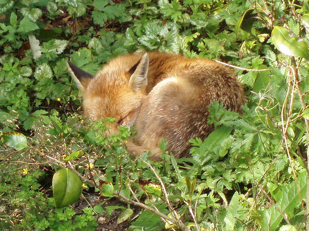 Urban Fox Sleeping - Free image #277279