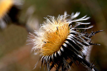 The surprising Facility of a Gold Thistle - image gratuit #277739