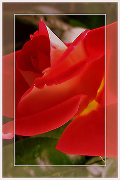 i_love_roses - Kostenloses image #277899