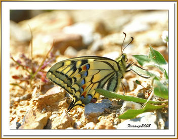 mariposa rey - Swallowtail - papilio machaon - бесплатный image #278059