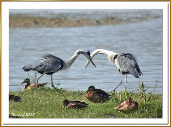 midiendo sus fuerzas 02- grey herons discovering which it is the but strong - бесплатный image #278109