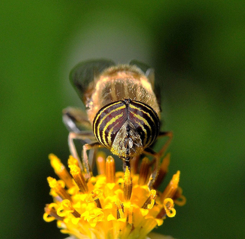 Beautiful eyes Tiger fly -2 - image gratuit #278339