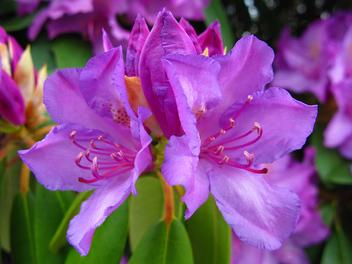 West Virginia State Flower Rhododendron - Kostenloses image #278479