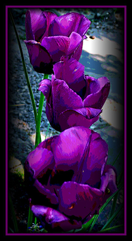 purple_tulips - image #278579 gratis