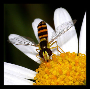 Hoverfly Sucking Nectar 02 - image gratuit #278659